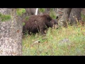 дикие животные в Национальном Парке Yellowstone
